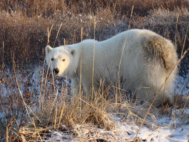 Hungry young polar bear at Seal River Lodge, Churchill, Oct 08